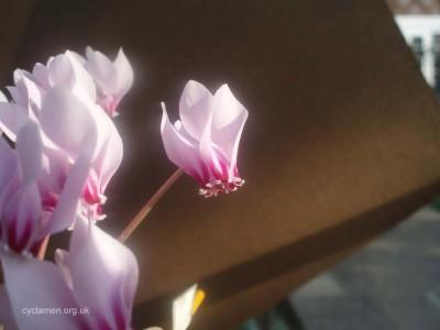 Cyclamen africanum flower 001