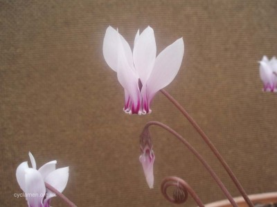 Cyclamen africanum flower 002