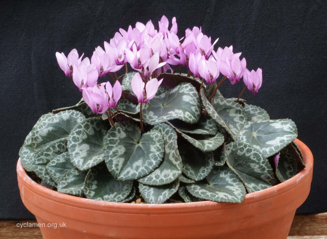 Cyclamen colchicum 002
