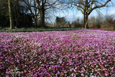 Cyclamen coum garden 001