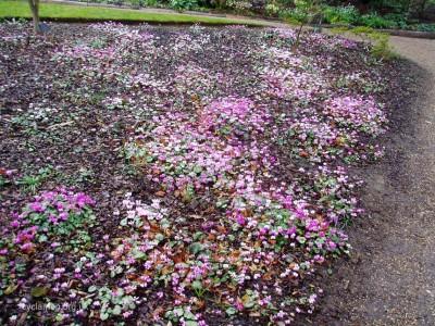 Cyclamen coum garden 002