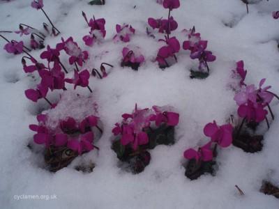 Cyclamen coum garden 005