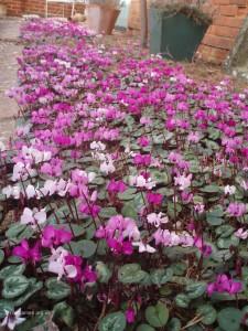 Cyclamen coum garden 003