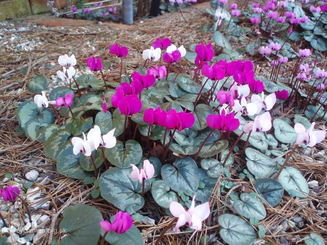 Cyclamen coum garden 004