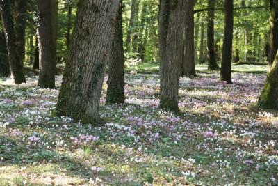Cyclamen hederifolium garden 003