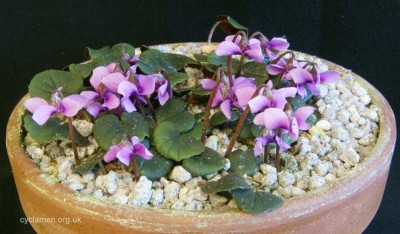 Cyclamen parviflorum 003