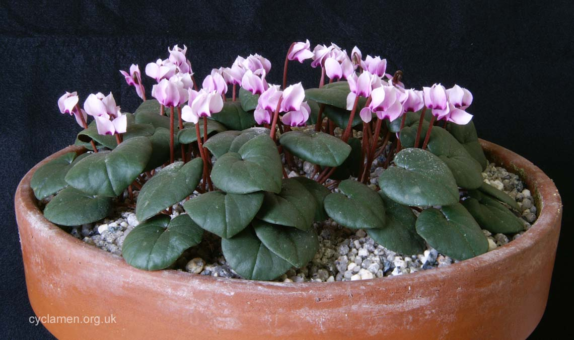 Cyclamen parviflorum 004