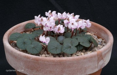 Cyclamen parviflorum 005