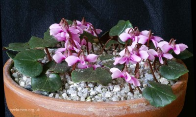 Cyclamen parviflorum 006