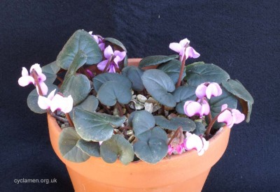 Cyclamen parviflorum 007