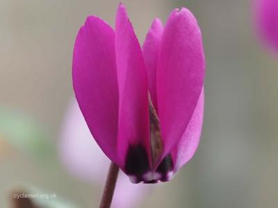 Cyclamen pseudibericum flower 001