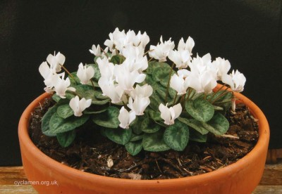 Cyclamen purpurascens 002