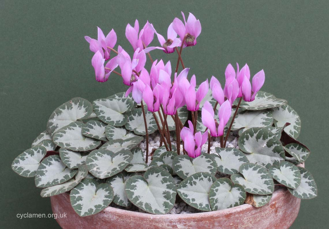 Cyclamen purpurascens 003