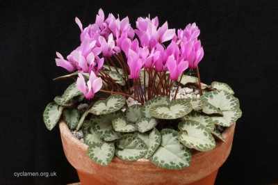 Cyclamen purpurascens 004