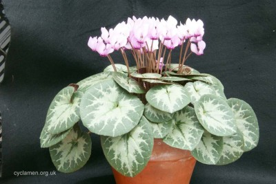 Cyclamen purpurascens 005