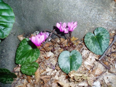 Cyclamen purpurascens habitat 001