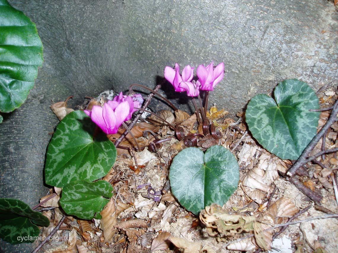 Cyclamen purpurascens habitat 001