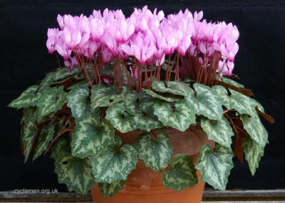 Cyclamen rhodium peloponnesiacum 001
