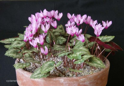 Cyclamen rhodium peloponnesiacum 002