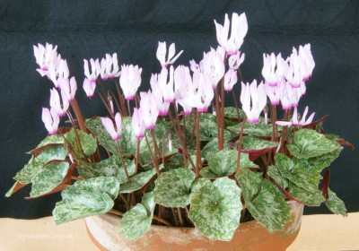 Cyclamen rhodium peloponnesiacum 004