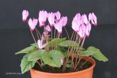 Cyclamen rhodium peloponnesiacum 005