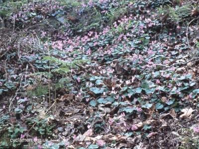 Cyclamen rhodium peloponnesiacum habitat