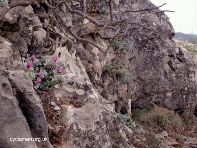 Cyclamen rhodium vividum habitat